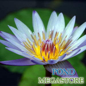 Margaret Mary Waterlily