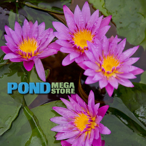 Maroon & Pink Waterlily <br> Medium, Blooms daily into October <br> Plants Available Spring 2021 <BR>RESERVE SACRED LOTUS in TODAY for spring 2021!
