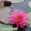 Mayla Hardy Waterlily <br> Large Waterlily <br>