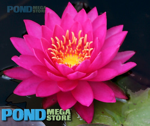Miss Siam Water Lily <br> Medium Hardy Water Lily <br>