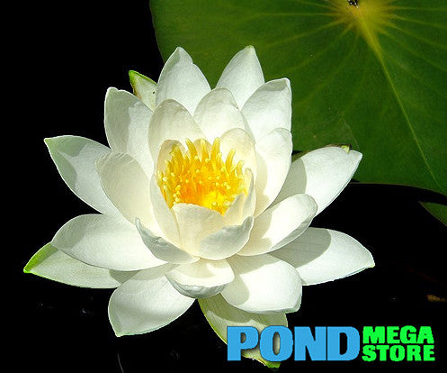 Moondance Waterlily