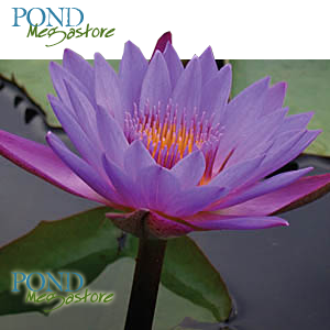 Panama Pacific Waterlily <BR> Medium, Day Bloomer