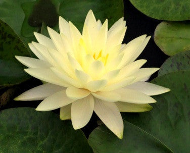 Perry's Double Yellow Waterlily