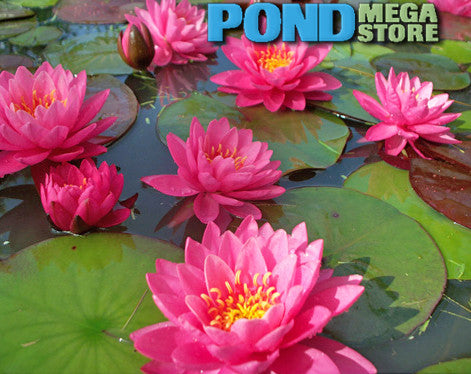 Perry S Fire Opal Water Lily Pondmegastore