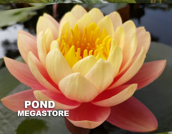 Perry's Orange Sunset Water Lily <br> Large Hardy Water Lily  <br>