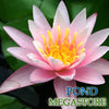 Pink Sensation Waterlily <br>