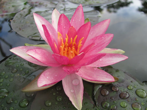 Pink Sparkle Waterlily