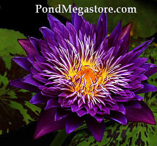 Plum Crazy Water Lily <br> Day blooming <br> Medium-Large Water Lily <br>