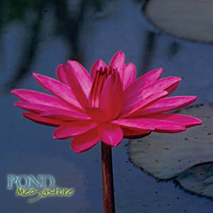 Red Flare Waterlily <br> Medium-Large, Night Bloomer <br> Plants Available Spring 2021