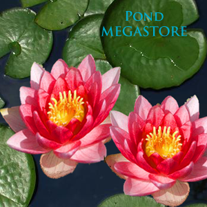 Meteor aka Rembrandt Hardy Waterlily <br> Medium <br>