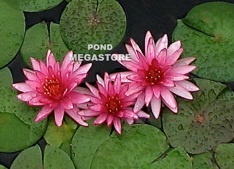 Ruby Star Waterlily