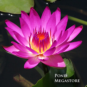 Ruby Waterlily <br> Medium, Day Bloomer <br> Plants Available Spring 2021