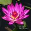 Ruby Waterlily <br> Medium, Day Bloomer <br> AVAILABLE TO BUY APRIL 15th 2021