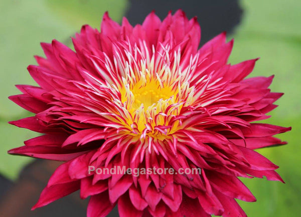 Scarlet Flame Water Lily <br> Day blooming <br> Medium-Large Water Lily <br>