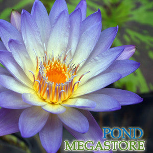 Southern Charm Waterlily <BR> Medium, Day Bloomer <br> Reserve for May 2020