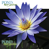 Star Of Siam Water Lily <br> Blue Day blooming <br>