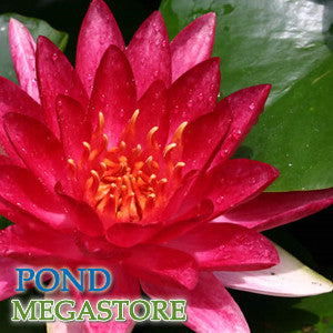 Steven Strawn Waterlily<br> Medium-Large Hardy Water Lily <br>