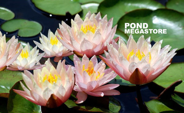 Sunny Pink Waterlily