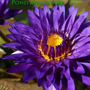 Tanzanite Waterlily <br> Medium-Large, Day Bloomer <br>  SHIPPING JUNE-AUGUST