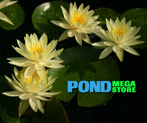 Texas Dawn Waterlily <br> Medium Hardy Hardy Water Lily  <br>Top 20 Bloomer!