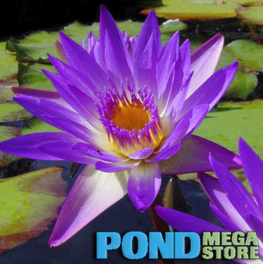 Tina Waterlily <br> Medium, Day Bloomer <br>