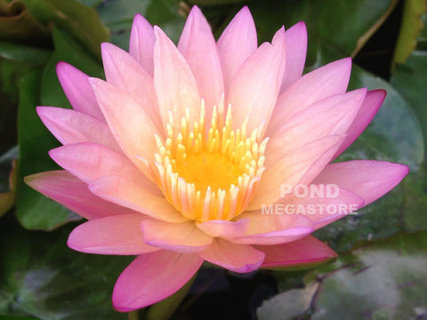 Tropic Sunset Water Lily <br> Day blooming <br> Medium Water Lily <br> Call for Availability until spring 2020