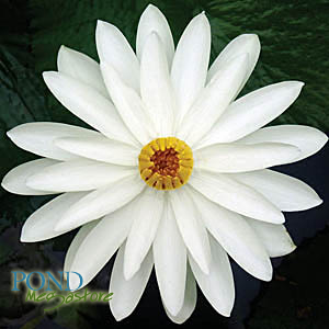 Trudy Slocum Water Lily <br> Evening blooming <br> Back in Stock June 12th 2020