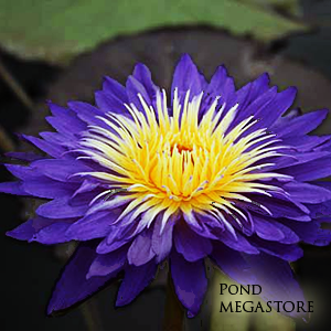 Ultra Violet Waterlily