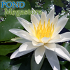 Virginalis Waterlily <br> Large Water Hardy Lily <br>