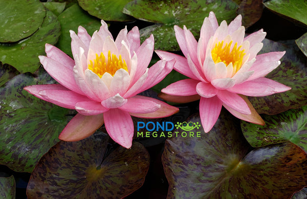 White Hot <br> Top 10 Hardy Water Lily <br>A Pond Megastore Top pick!