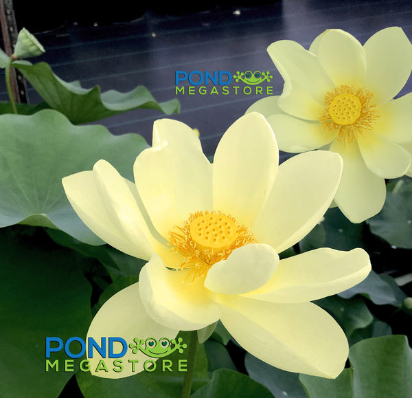 Lotus lutea growing lotus hybrid of the american yellow yellow bird lotus br largetall br ships spring 2019 mightylinksfo