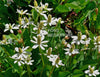 Yerba Mansa, Native<br> (Anemopsis Californica) <br> Back in Stock June 10th 2020