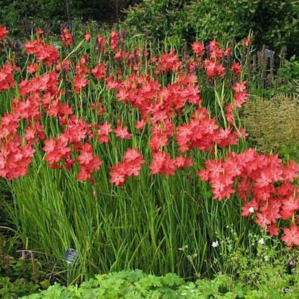 Zeal Salmon Kaffir Lily <br>(Schizostylis coccinea) 'River Lily' <BR>RESERVE TODAY for spring 2021!