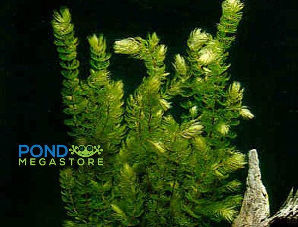 Hornwort (Ceratophyllum Demersum), <br> Best Oxygenating Pond Plant by a mile! <br> Starves algae and protects fish