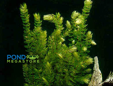 Hornwort (Ceratophyllum Demersum), <br> Best Oxygenating Pond Plant by a mile! <br> Winter Hardy, starves algae and protects fish