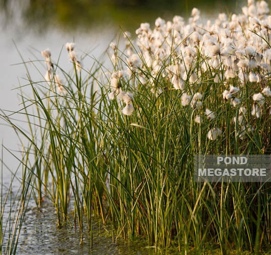 Cotton Grass (Eriophorum Angustifolium)