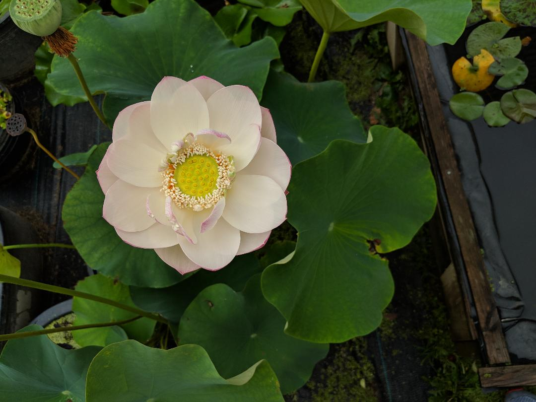 Buy Lotus Pond Plants Varieties Of Hybrid Sacred Lotus