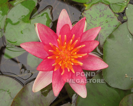 Indiana Waterlily