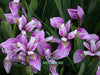 Deep Rose Iris Versicolor <br> Native Pond Plants!