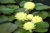 Lemon Meringue Water Lily <br> Early bloomer and blooms til fall!  <br> A Pond Megastore Top pick!