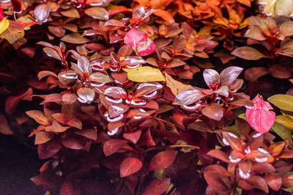 Ludwigia 'SUPER RED'<br> Oxygenating Pond Plants <br> Cleans & Filters Water! <br>Shipping Begins April 5th 2021