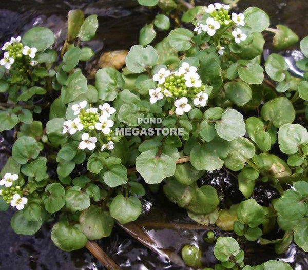 Watercress (Nasturtium Officinale)  <br> edible plants to grow!<br> Bunched plants*