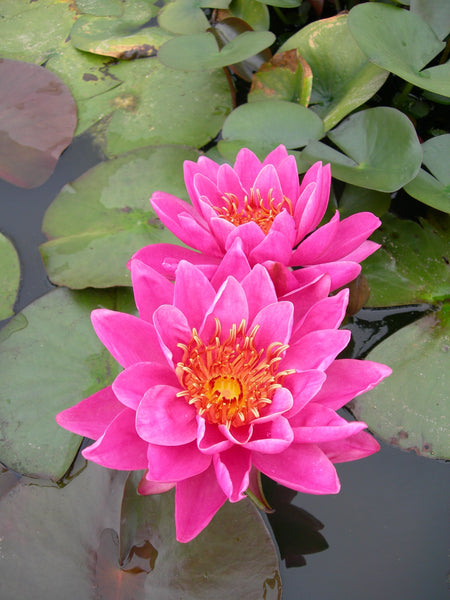 Wow Hardy Waterlily  <br>  Medium <br>