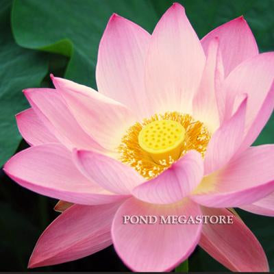 Lotus by flower color