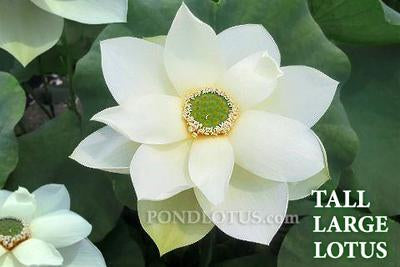 How to Grow Lotus Flowers