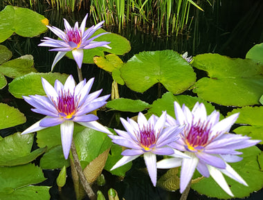Annual Waterlilies