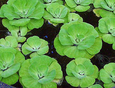 FLOATING POND PLANTS *SALE*