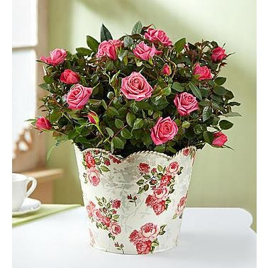 1-800-Flowers Classic Budding Rose, Large- Price Includes Shipping