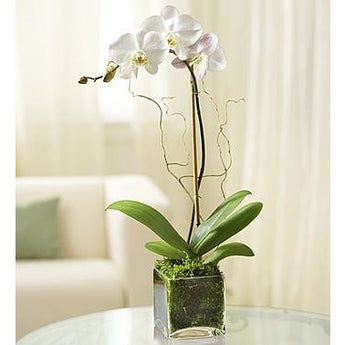Elegant Orchid - White- Price Includes Shipping