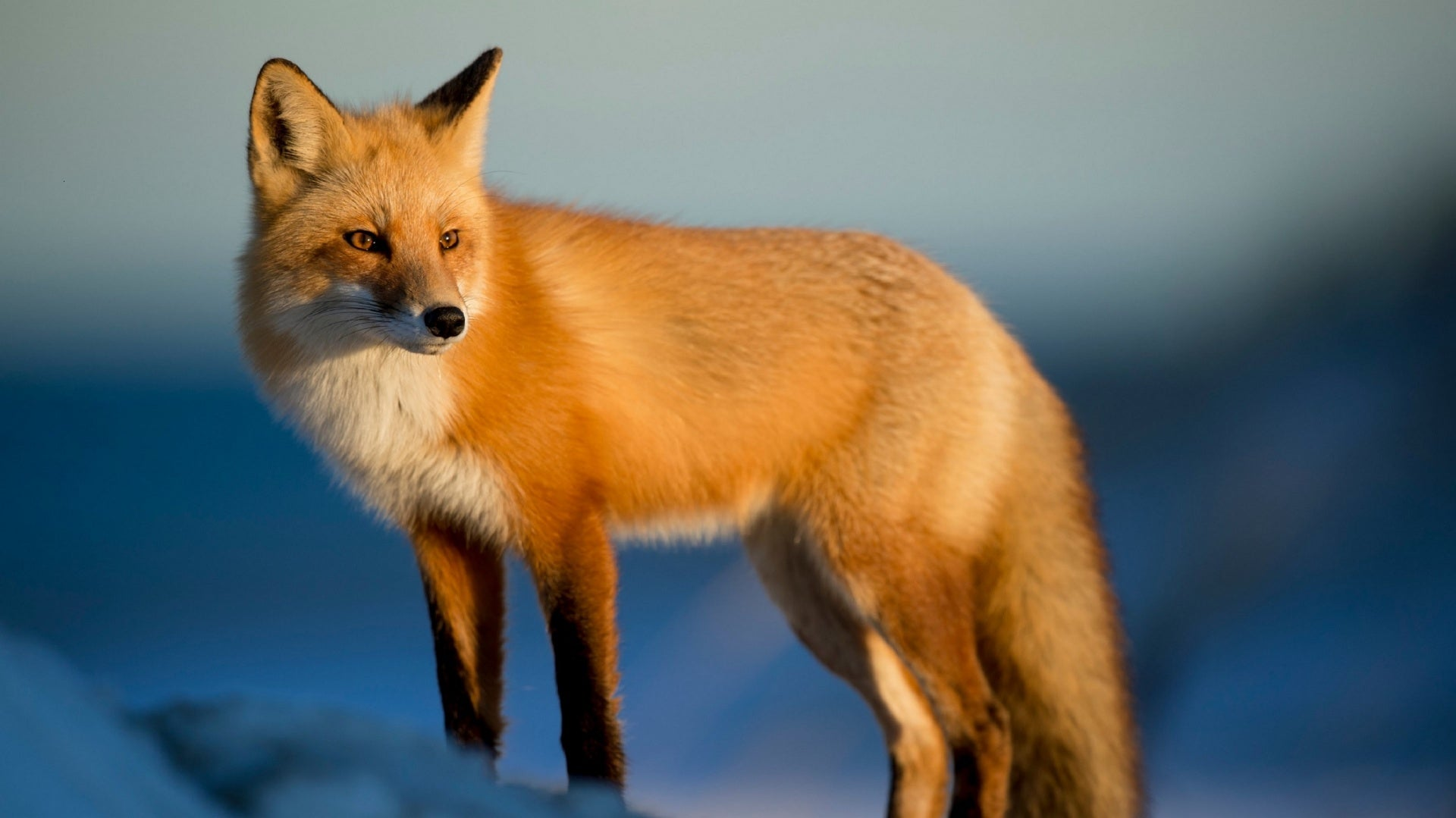Interpreting The Spiritual Meaning Of Seeing A Fox